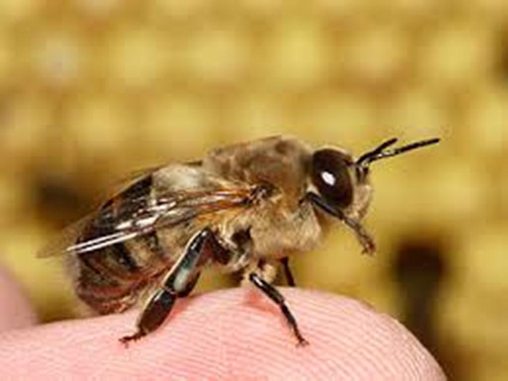 نتيجة بحث الصور عن نحلة