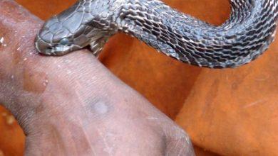 صورة نحو 100 مليون دولار للبحث عن علاج للدغات الثعابين