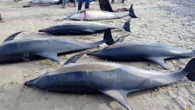 """صورة """"مآتم"""" في قرى الـ""""ايمراغن"""" الموريتانية .. مصرع أكثر من مائة دلفين.."""