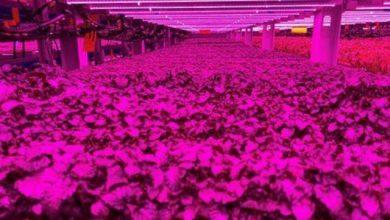 صورة أزمة كورونا نعمة لا نقمة على مزارع الإمارات
